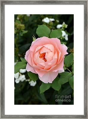 Pink Rose In Hamburg Planten Und Blomen Framed Print by Eva Kaufman