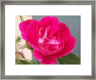Pink Rose Framed Print by Jewel Hengen