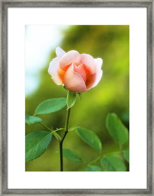 Framed Print featuring the photograph Pink Rose by Jim Poulos