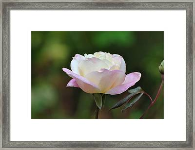 Framed Print featuring the photograph Pink Rose by Jodi Terracina