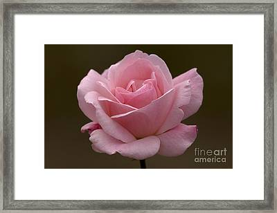 Framed Print featuring the photograph Pink Rose by Meg Rousher