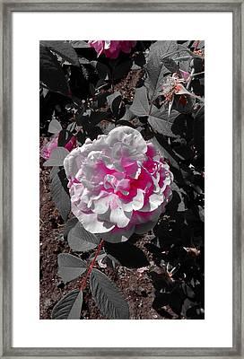 Pink Rose Morning Light Framed Print