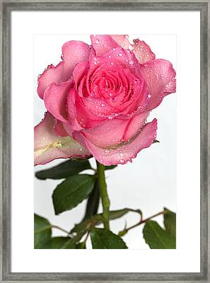 Pink Rose  Framed Print by Paul Lilley