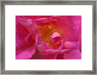 Pink Rose Series 111 Framed Print