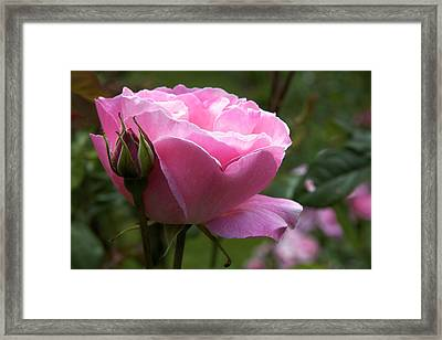 Pink Rose Framed Print by Terry Horstman