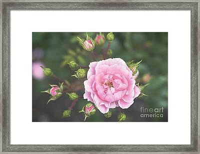 Pink Rose The Queen Framed Print by Ivy Ho