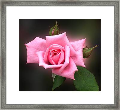 Pink Rose Framed Print by Thomas Woolworth