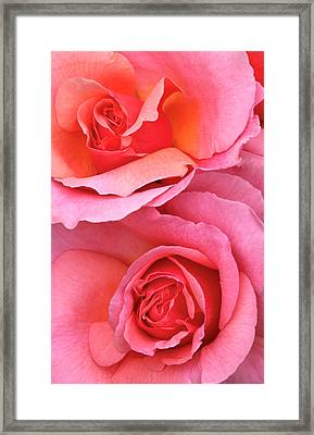 Pink Roses Abstract Framed Print by Nigel Downer