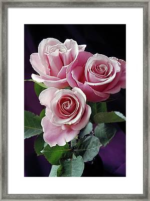 Pink Roses Framed Print by Anna Miller