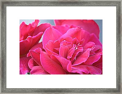 Pink Roses Framed Print by Donna G Smith