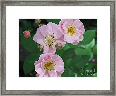 Framed Print featuring the photograph Pink Roses by HEVi FineArt