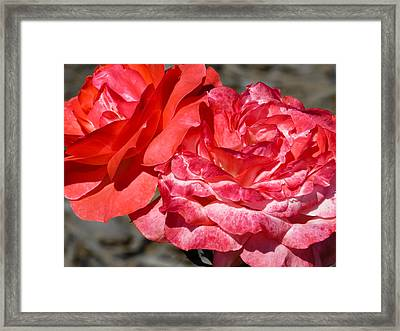Pink Roses Framed Print by Zina Stromberg