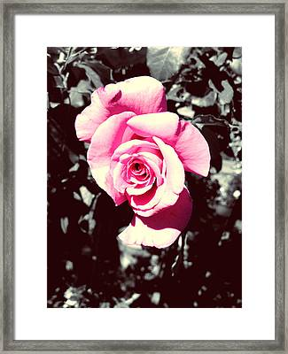Pink Rosetta  Framed Print by Sherry Flaker