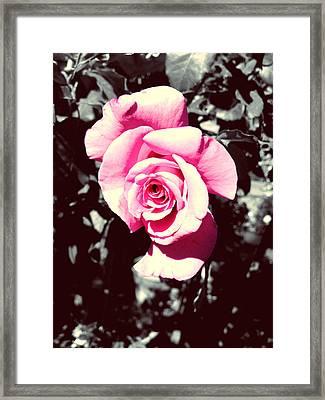 Pink Rosetta  Framed Print