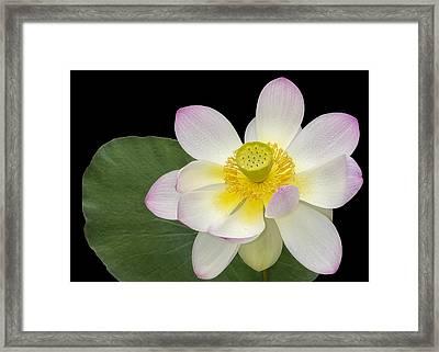 Pink Sacred Lotus Flower Framed Print