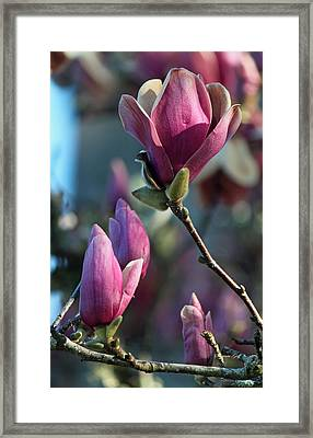 Pink Saucer Magnolia II Framed Print by Suzanne Gaff