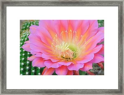Pink Saucer Framed Print