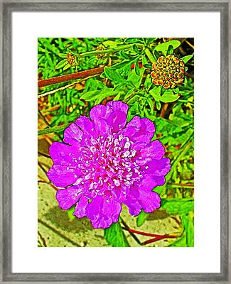 Pink Scabiosa In  Park Sierra Near Coarsegold-california  Framed Print by Ruth Hager
