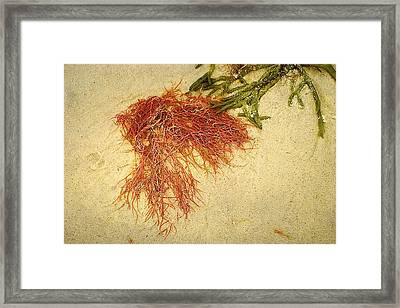 Pink Seaweed Red River Beach Harwich Cape Cod Ma Framed Print by Suzanne Powers