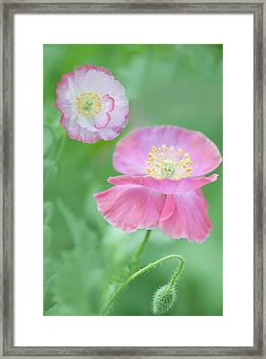 Pink Shirley Poppies Framed Print by Maria Mosolova