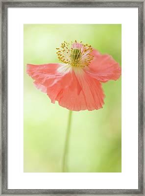 Pink Shirley Poppy Framed Print
