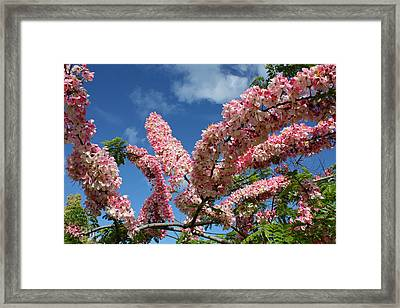 Pink Shower Tree Framed Print by Venetia Featherstone-Witty
