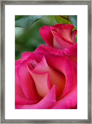 Pink Sophistication Framed Print by Cindy McDaniel