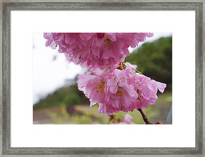 Pink Spring Tree Blossoms Art Prints Framed Print by Baslee Troutman