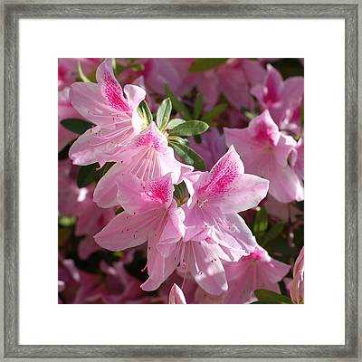 Pink Star Azaleas In Full Bloom Framed Print