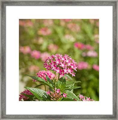 Pink Star Cluster Flower Framed Print