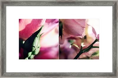 Pink Summer Roses Framed Print by Sabine Jacobs
