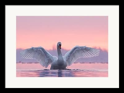 Swans. Framed Prints