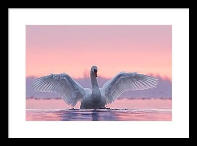 Swan Framed Prints
