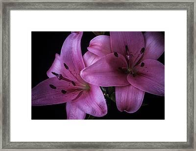 Pink Tiger Lilies Framed Print