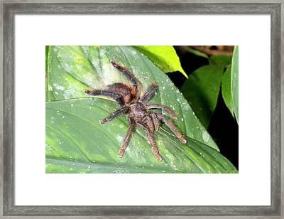 Pink Toed Tarantula Framed Print by Dr Morley Read