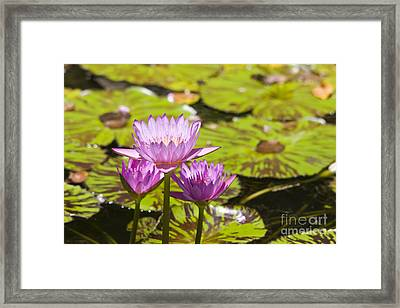 Pink Tropical Water Lilly Framed Print