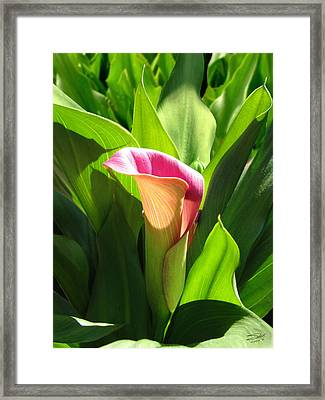 Pink Trumpet Lily Framed Print by IM Spadecaller