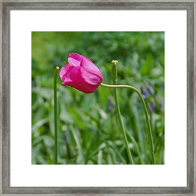 Pink Tulip Framed Print by Aimee L Maher Photography and Art Visit ALMGallerydotcom