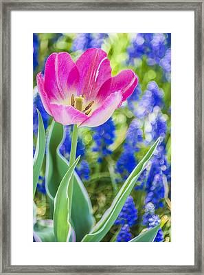Pink Tulip Blue Backround Framed Print