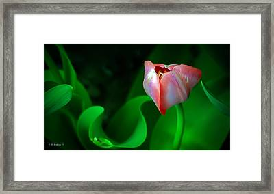 Pink Tulip Framed Print by Brian Wallace