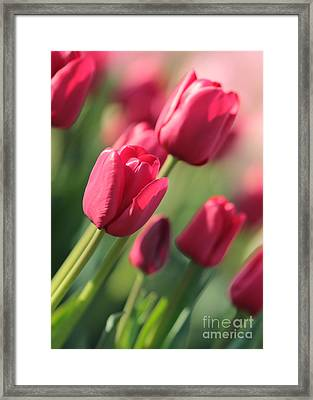 Pink Tulip Dream Framed Print by Carol Groenen