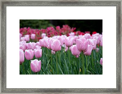 Pink Tulip Garden Framed Print by Jennifer Ancker