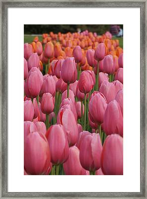 Pink Tulip Impression Framed Print by Brian Jones