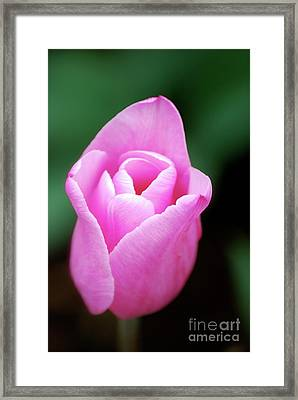 Framed Print featuring the photograph Pink Tulip by Kathy Gibbons