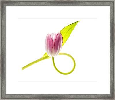 Pink Tulip On White Framed Print by Vishwanath Bhat