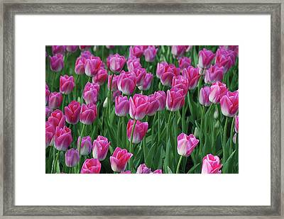 Framed Print featuring the photograph Pink Tulips 2 by Allen Beatty