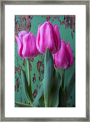 Pink Tulips Against Green Wall Framed Print by Garry Gay