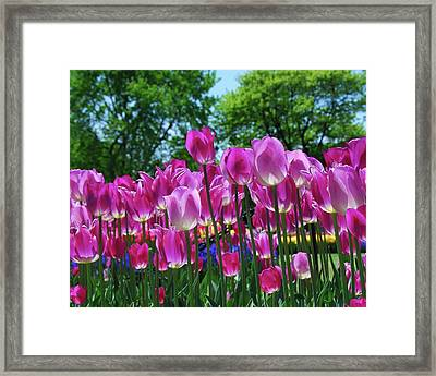 Framed Print featuring the photograph Pink Tulips by Allen Beatty