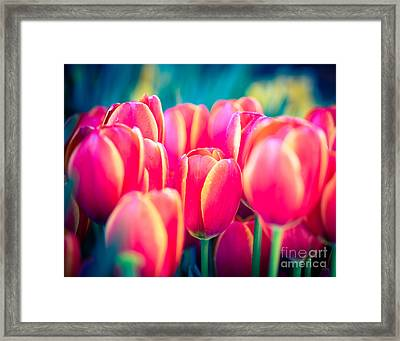 Pink Tulips Blu Framed Print by Sonja Quintero