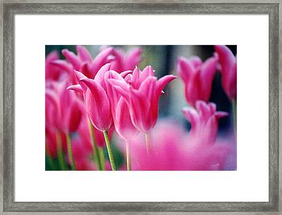 Pink Tulips Framed Print by Susan Crossman Buscho